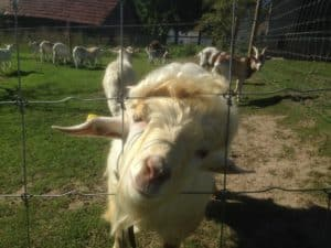 Tierpark Wildgehege Supernet Ziegengehege Brakel