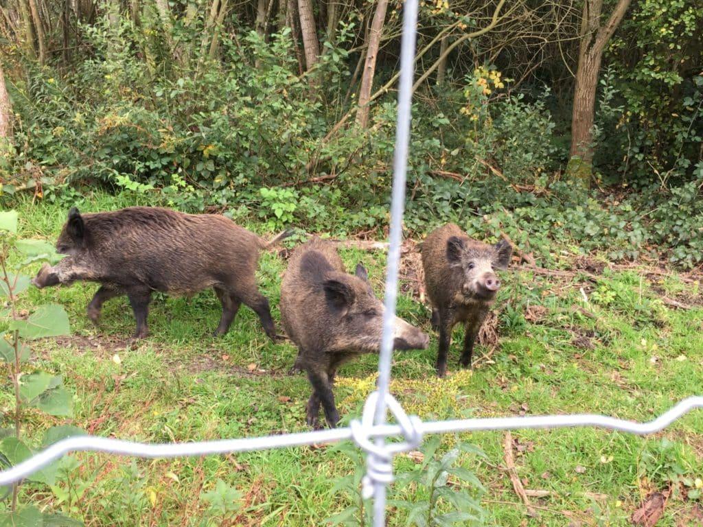 ASP Spezialgeflecht ASP Prävention Tierpark Wildgehege Wildschweinschutzanlagen