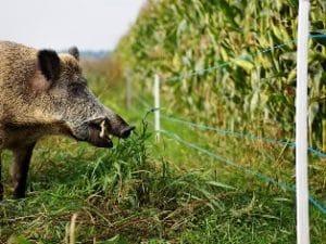 ASP Prävention Wildschweinzaun WildschweinschutzzaunSchutzzäune um Maisschläge