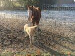 Zaun Kangal Herdenschutzhund Pferdezaun