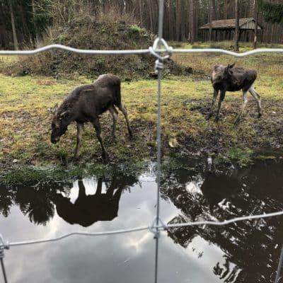 Elchzaun Tierpark Müden