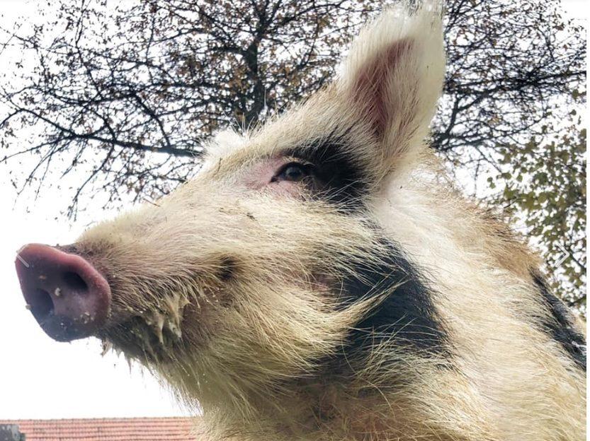 Wildschweinzaun UNtergrabschutz Wildschweinschutzzaun ASP Prävention