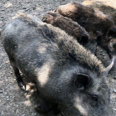 ASP Spezialgeflecht ASP Prävention Wildschweinzaun Wildschweinschutzzaun