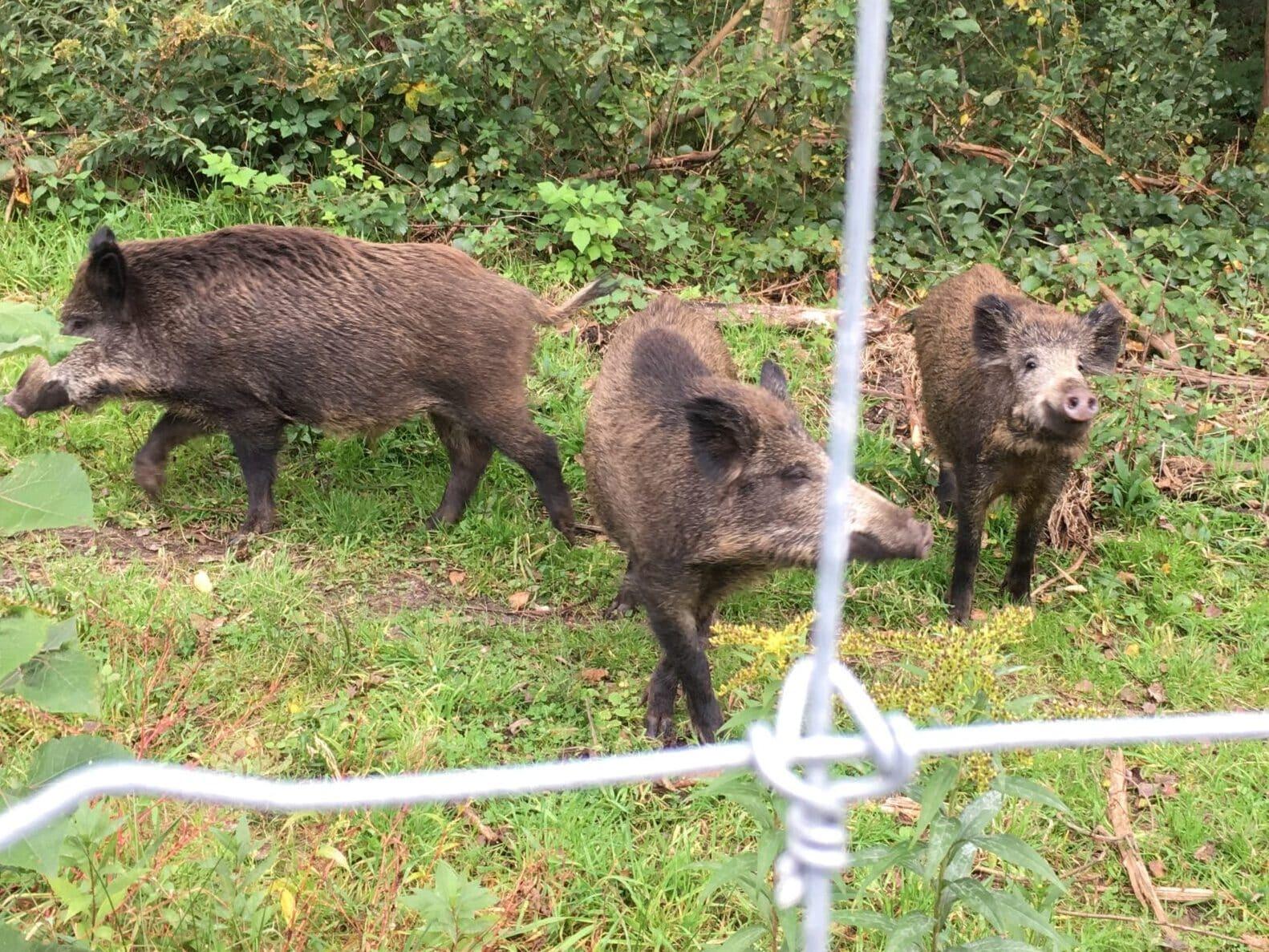ASP Schutzzaun Wildschwein Tierseuchenvorsorge